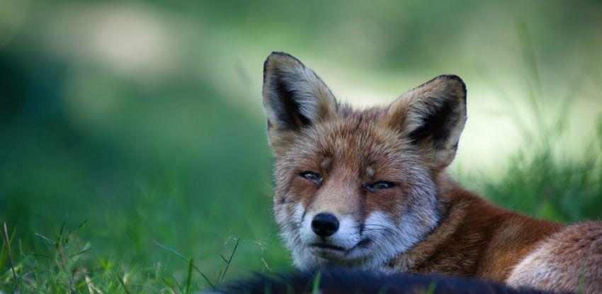 Natuurfotografie workshop – vossen, ijsvogel en meer… – 25 Mei 2013